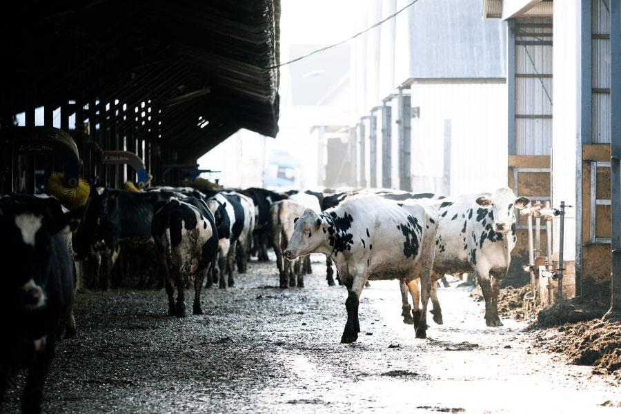牛たちは日中自由に動き回って、昼寝をしたり、ご飯を食べたりします。