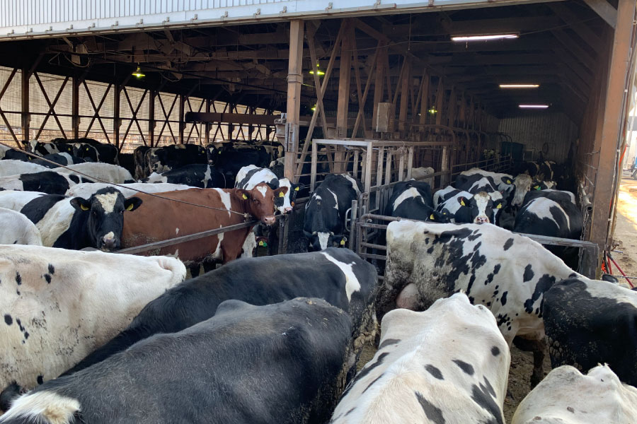 搾乳前の待機所は大渋滞!終わった牛たちが写真中央から一頭づつ牛舎へ戻っていきます。