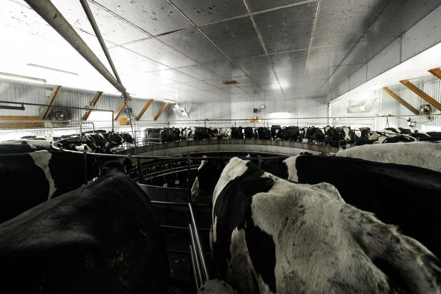 パーラーを回っている間、牛さんたちは顔を見合わせながらぐるっと一周します。